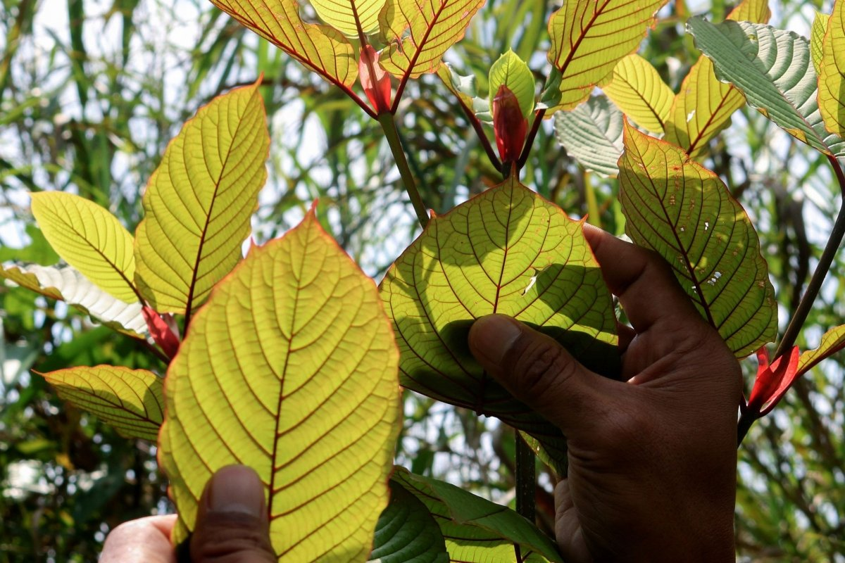 Within The Age Of Details, Focusing On Kratom Essence